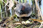 Little Grebe (Tachybaptus ruficollis)